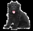 щенок черной немецкой овчарки