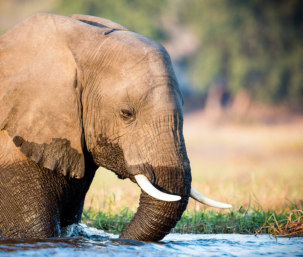 elephant drinking by Michael North, wildlife conservation photographer