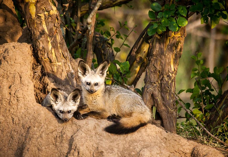 Bat Ear Fox