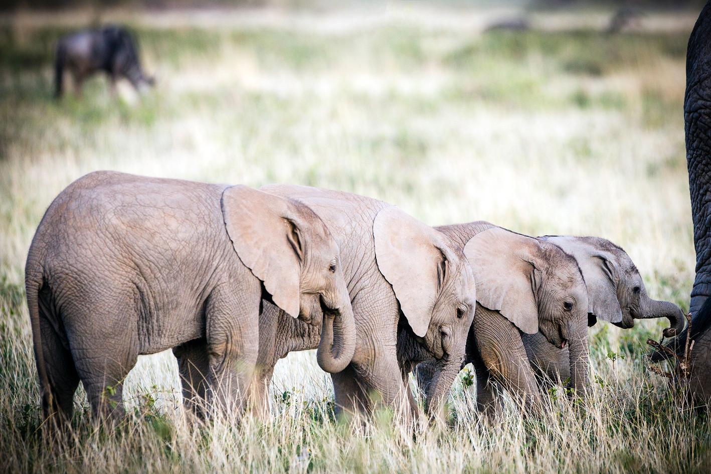 Elephant 32