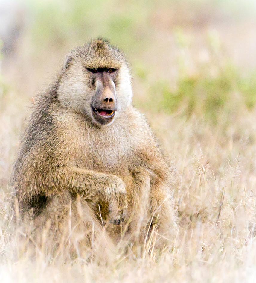 Baboon 4