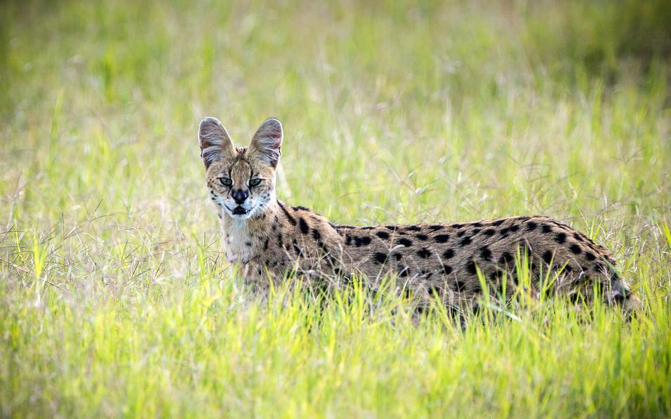 Serval Cat 2