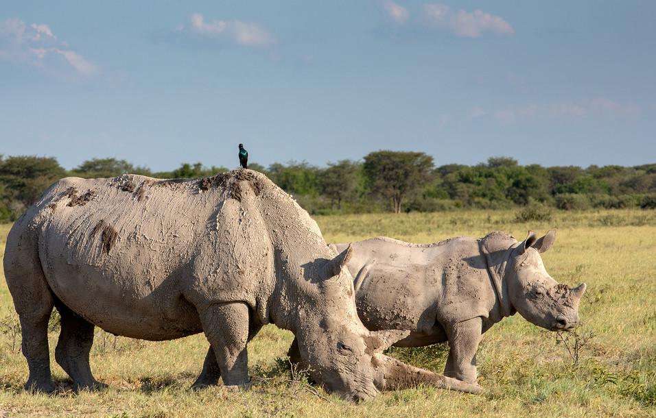 Rhino 5