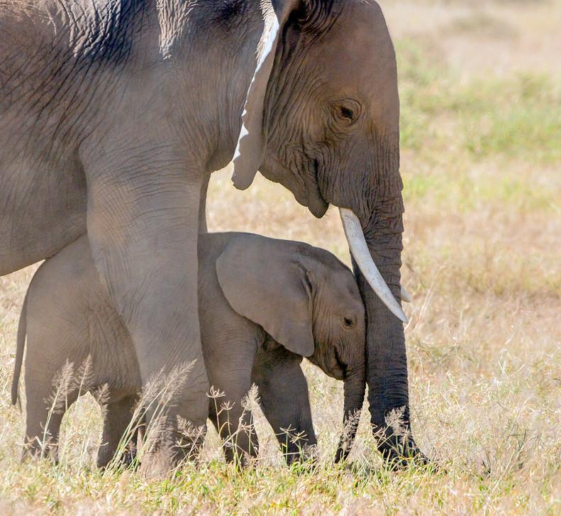 Elephant 22