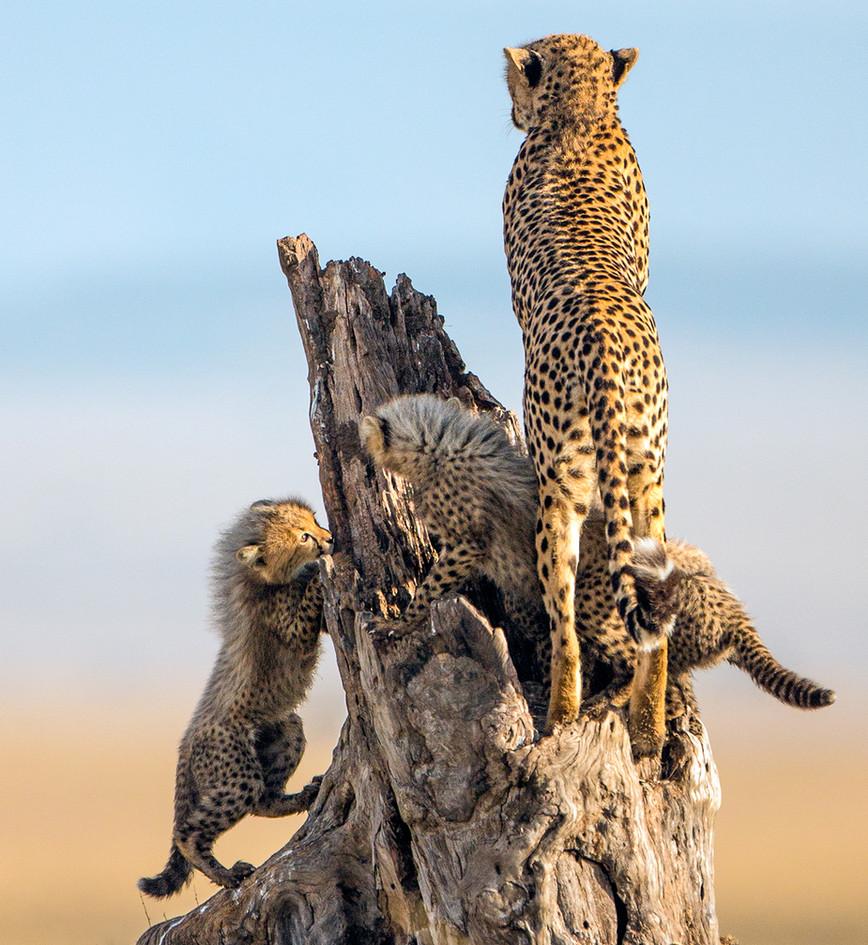 Cheetah 20