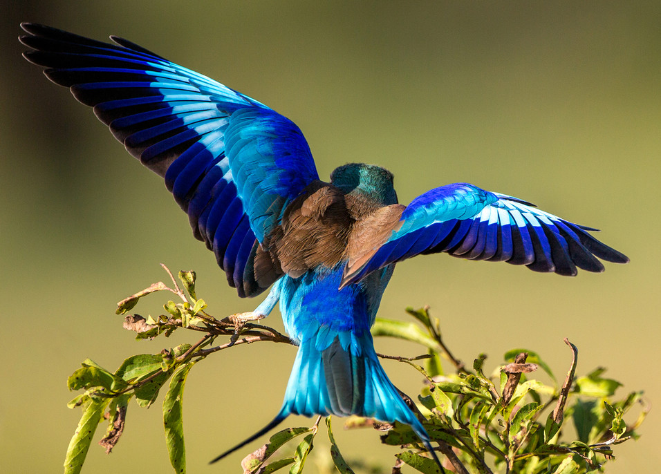 Lilac Breated Roller 3