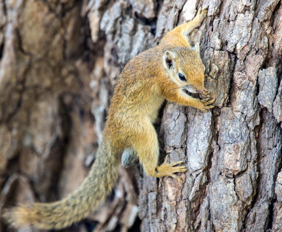 Tree Squirrel 2