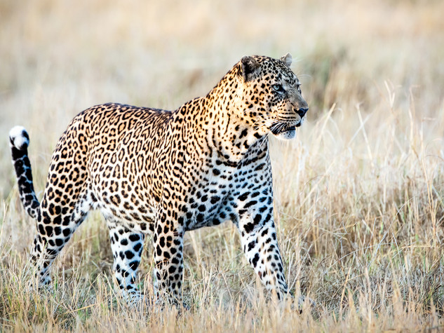 Leopard, The Spotted Prince