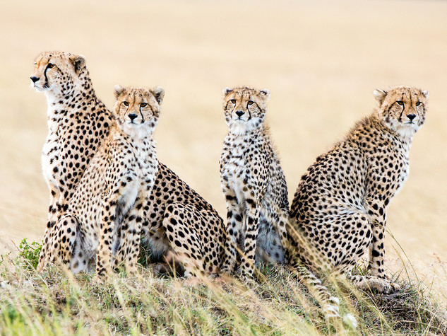 A Time With Cheetah