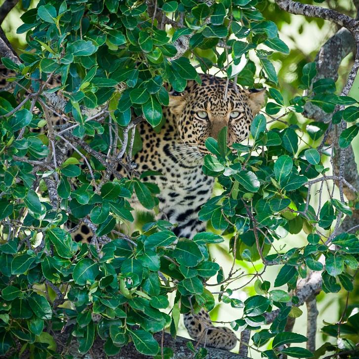 Leopard 18