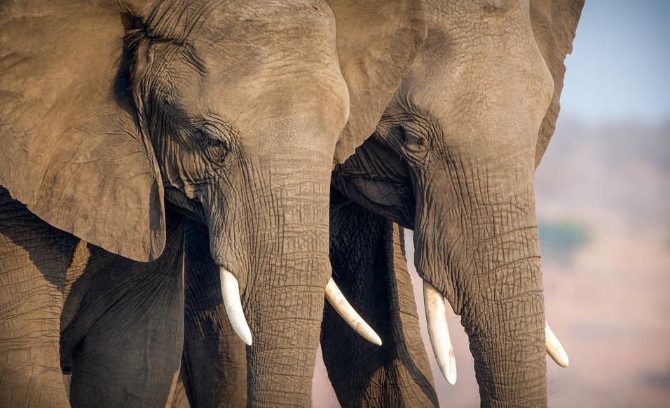 Elephant 44