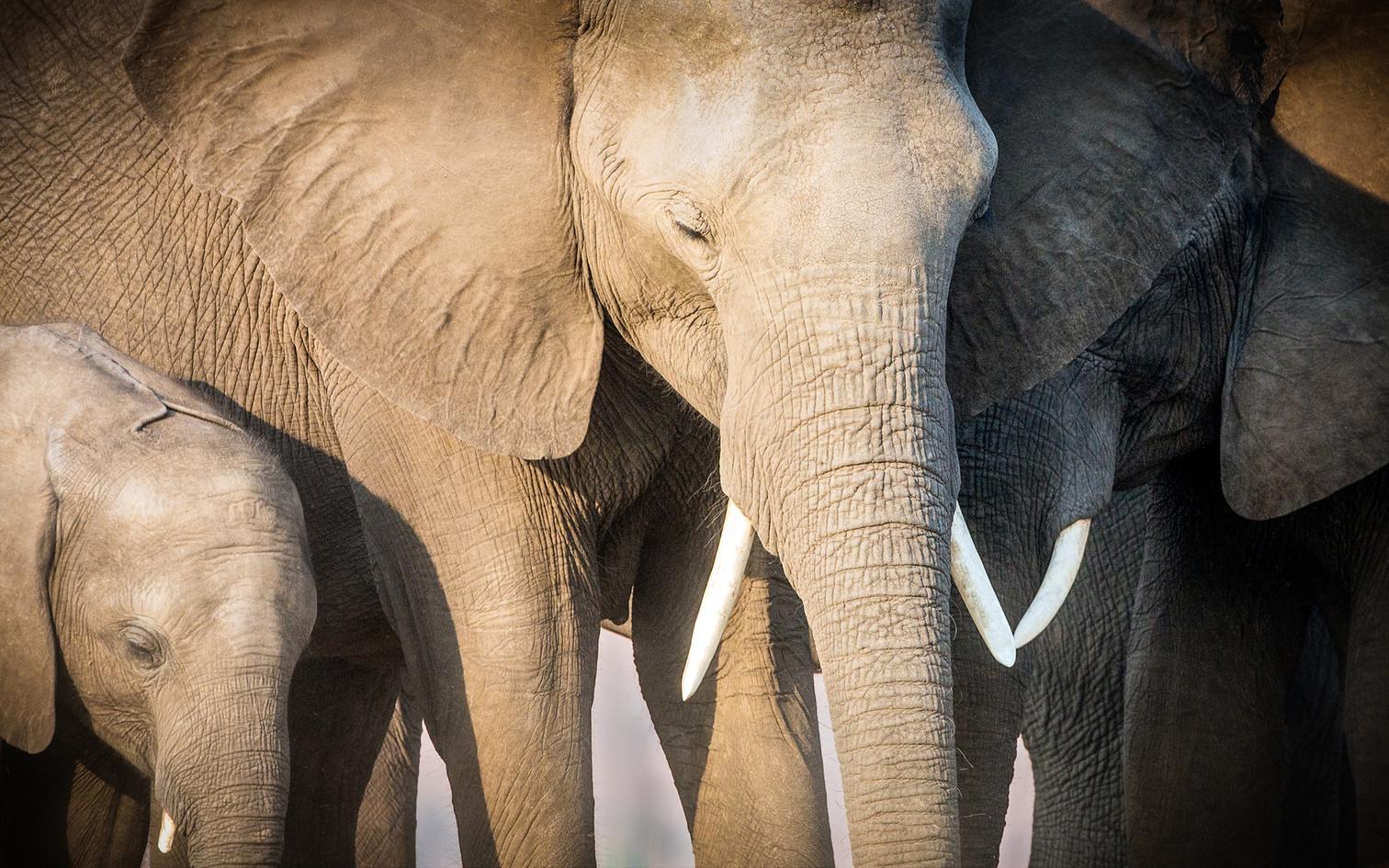 Elephant 43