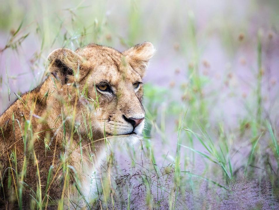 Lion 24
