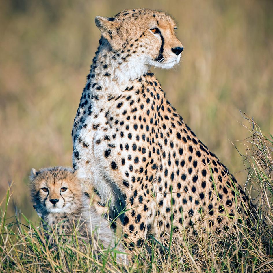 Cheetah 15