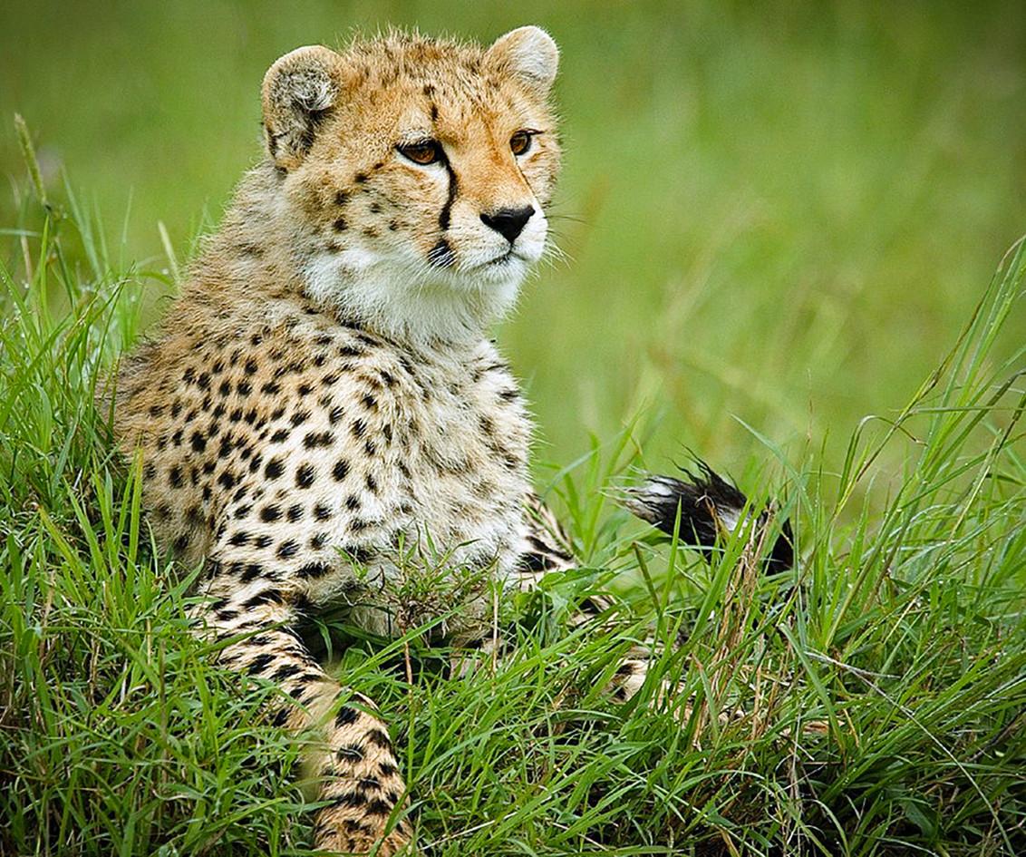 Cheetah 16