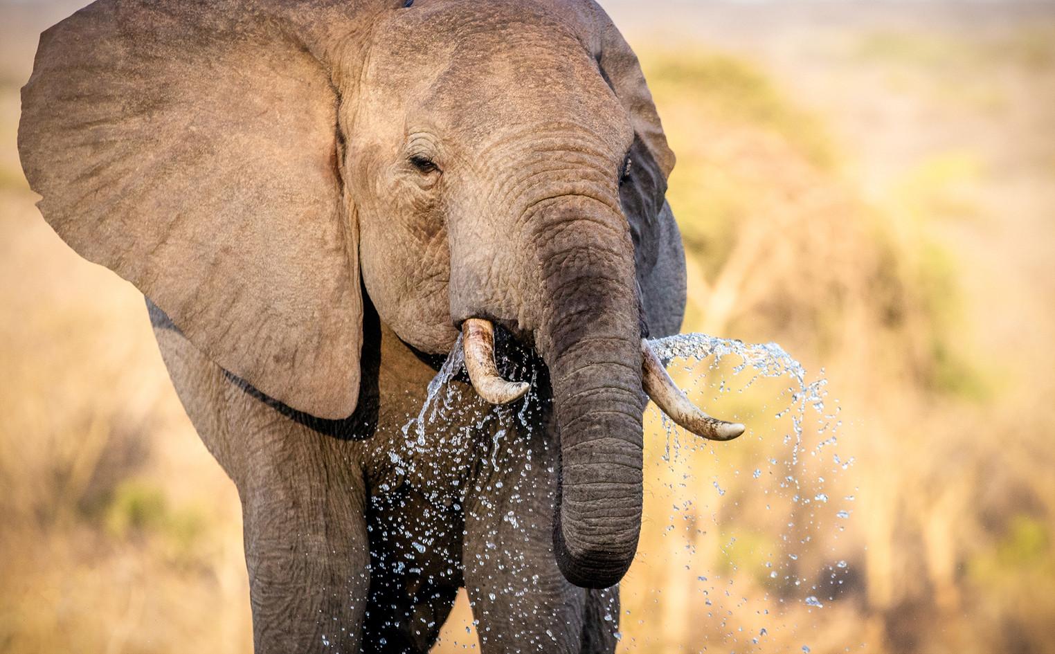 Elephant 50
