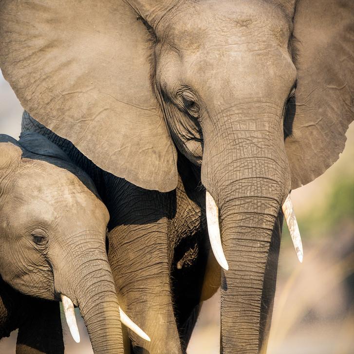 Elephant 45