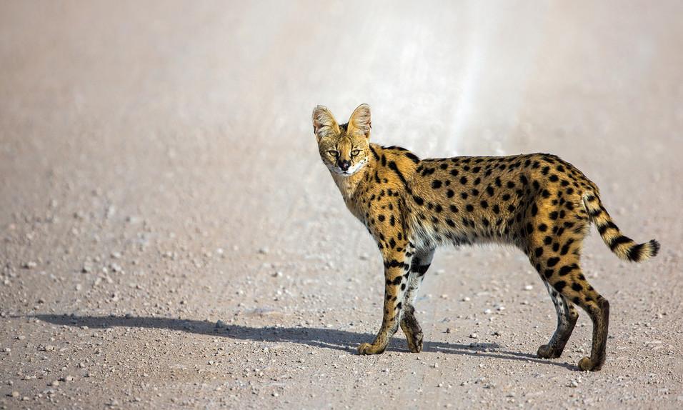 Serval Cat 1