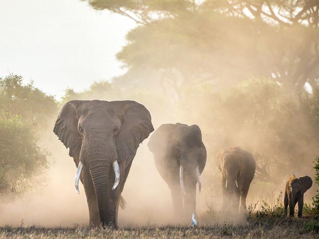 Elephants, Africa's Heartbeat