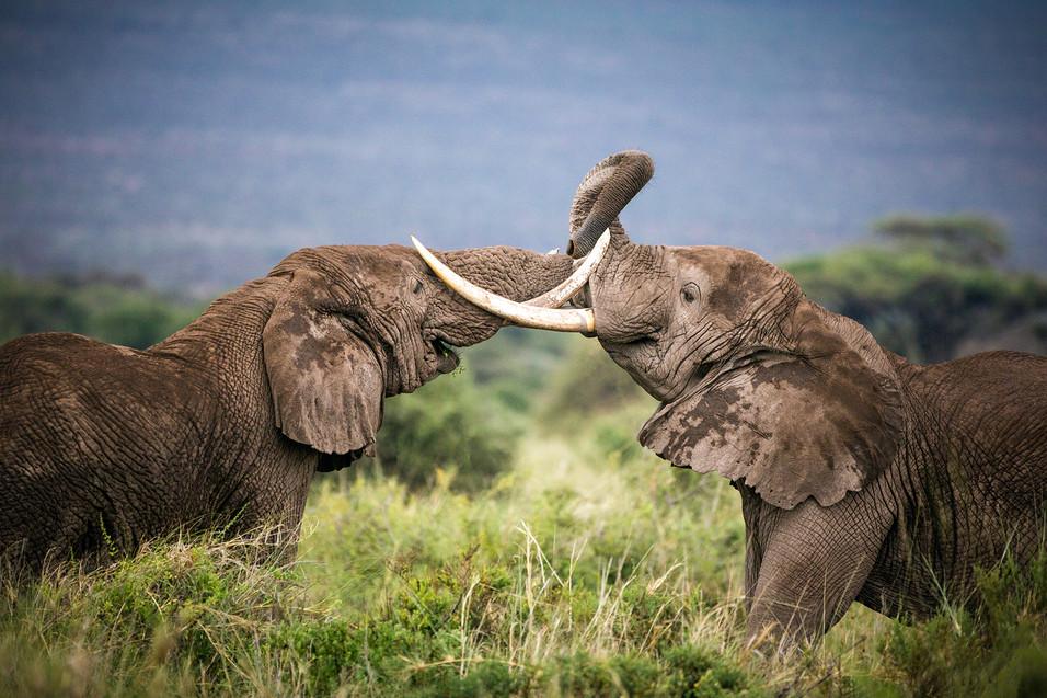 Elephant 19