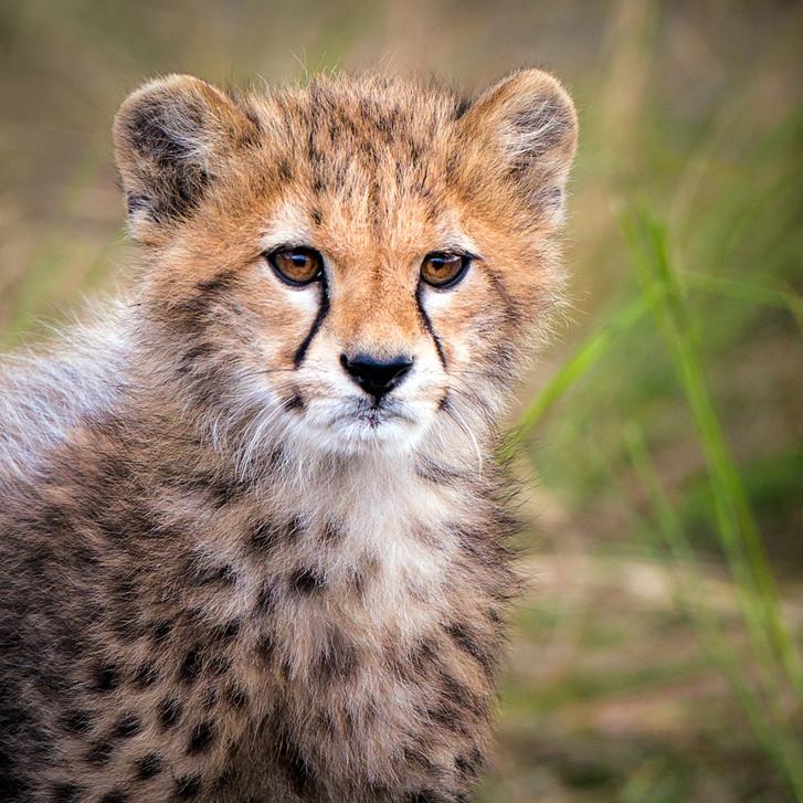 Cheetah 18