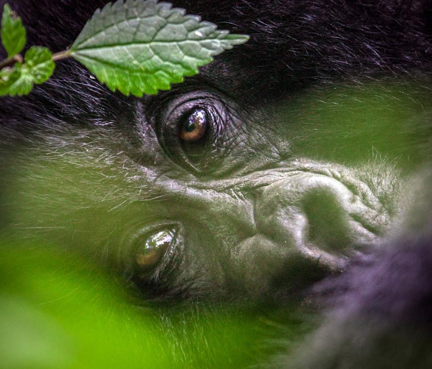 Gorilla 11