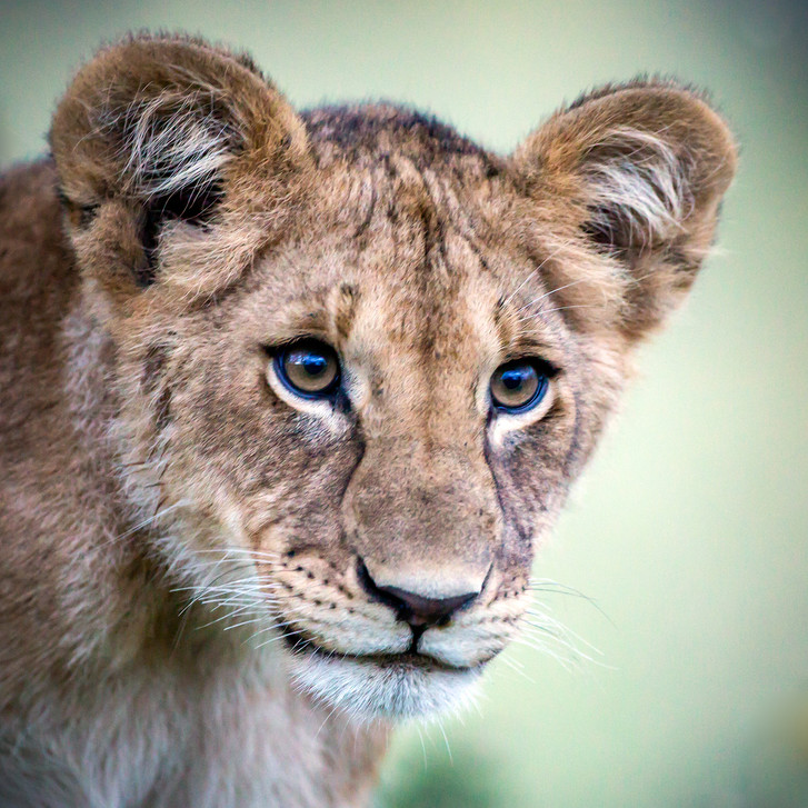 Lion 21