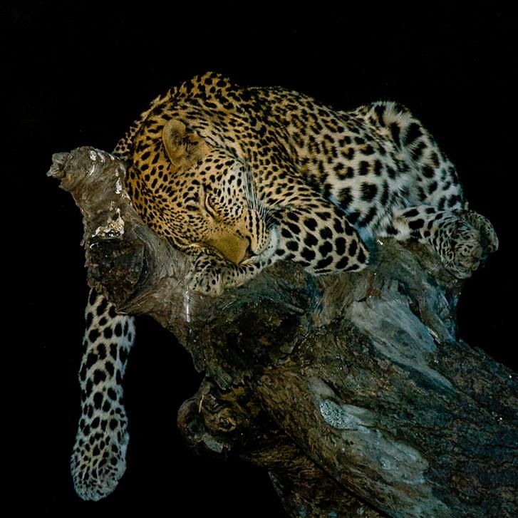 Leopard 20