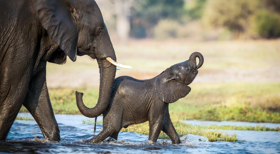 Elephant 37
