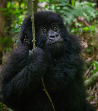 Gorilla 8