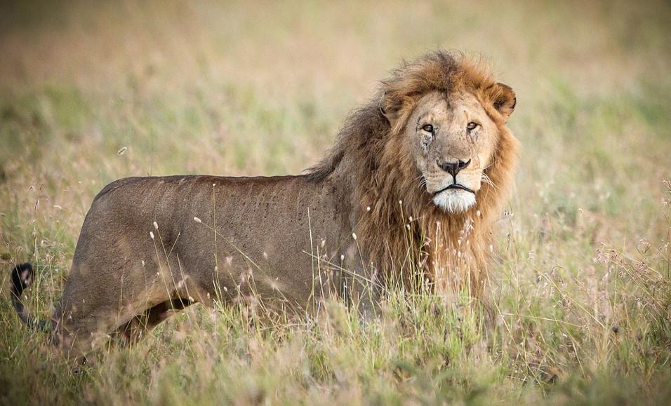 Lion 29