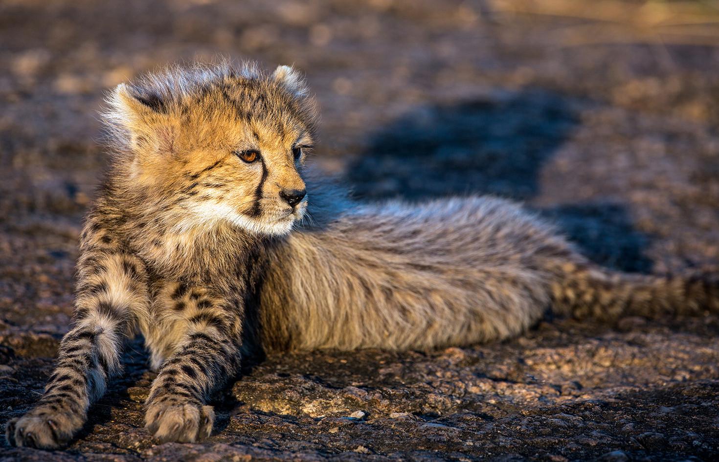 Cheetah 12