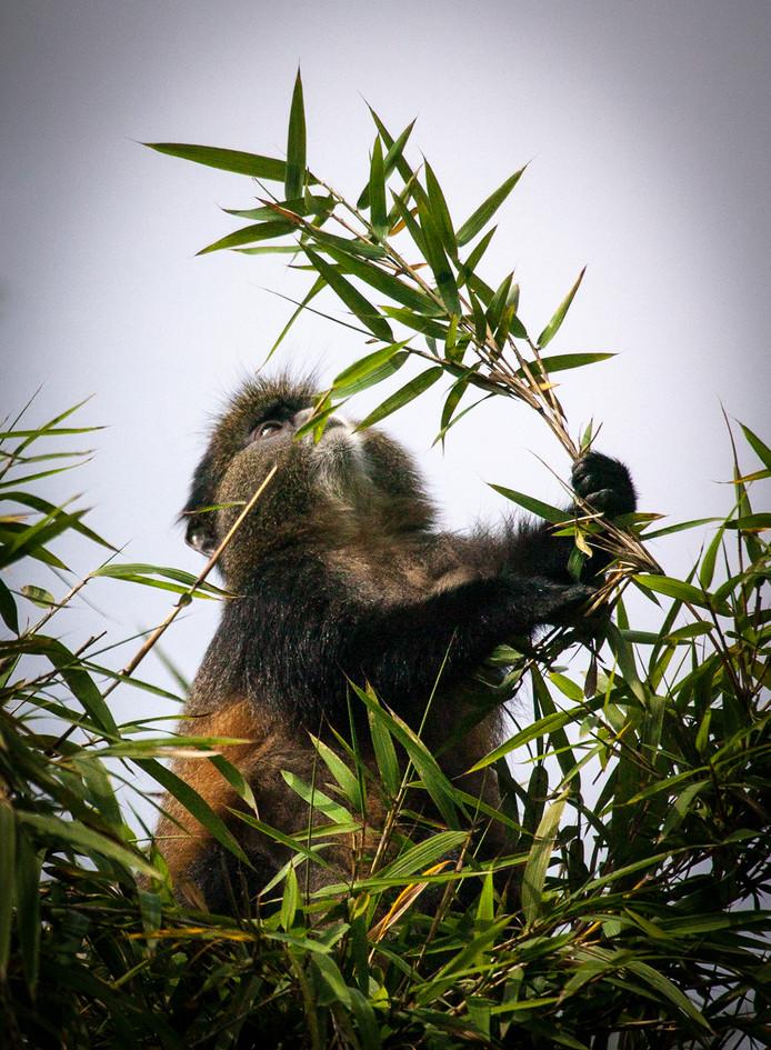 Golden Monkey 1