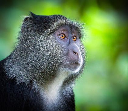Blue Monkey 1