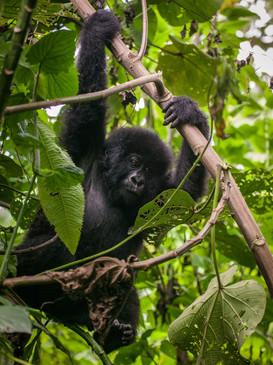 Gorilla 5