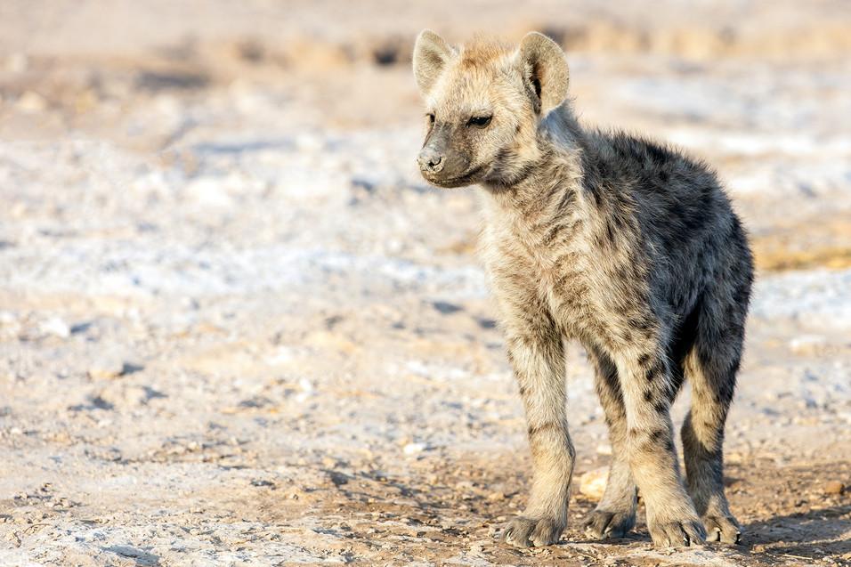Hyena 4