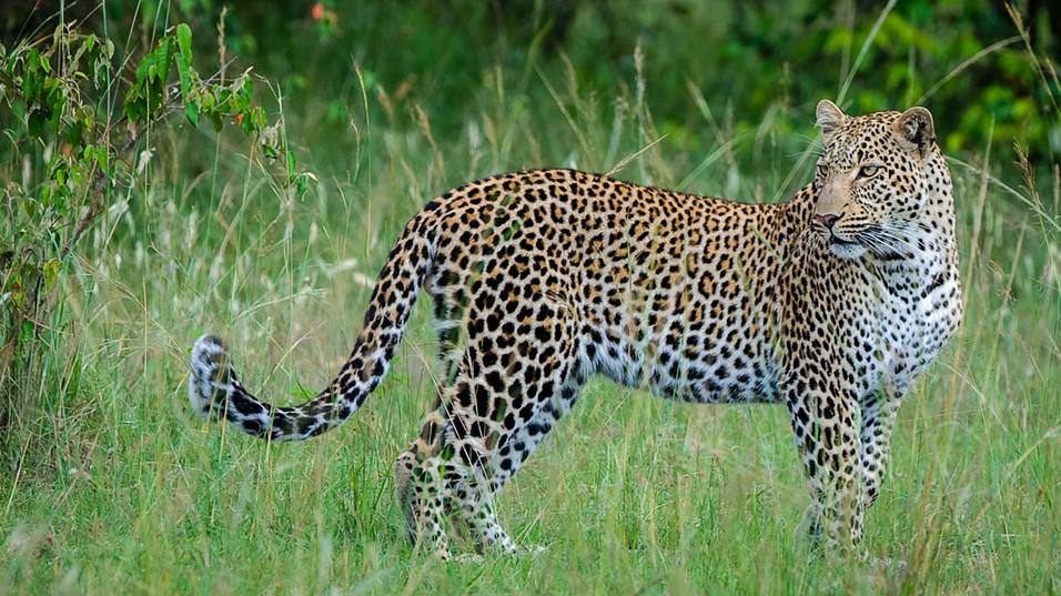Leopard 6