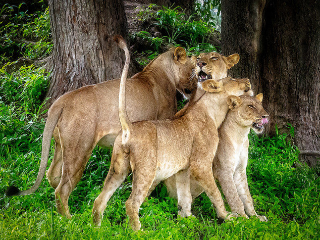 Lion, Africa's Pride