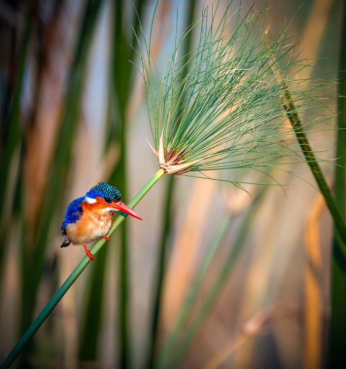 Malachite Kingfisher 1