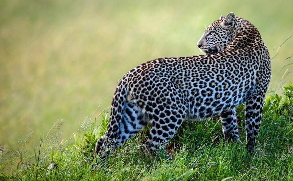 Leopard 5