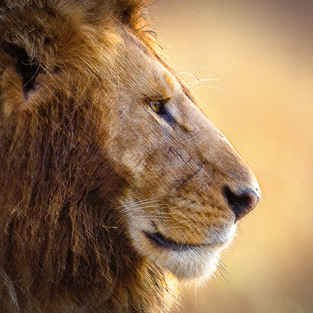 Lions, Africa's Pride
