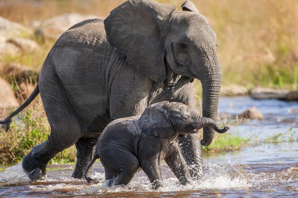 Elephant 25