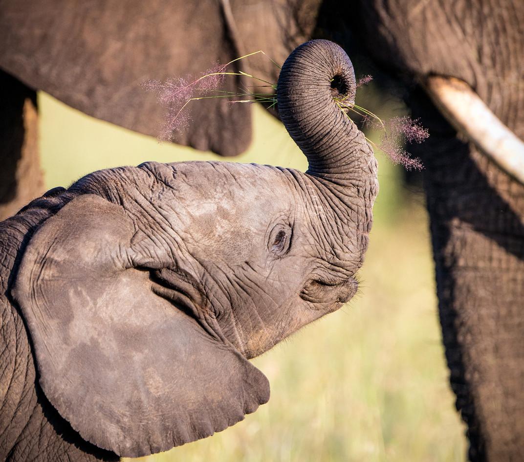 Elephant 21