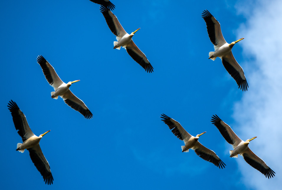 Pelican 1