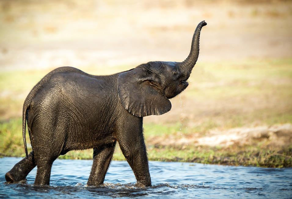 Elephant 38