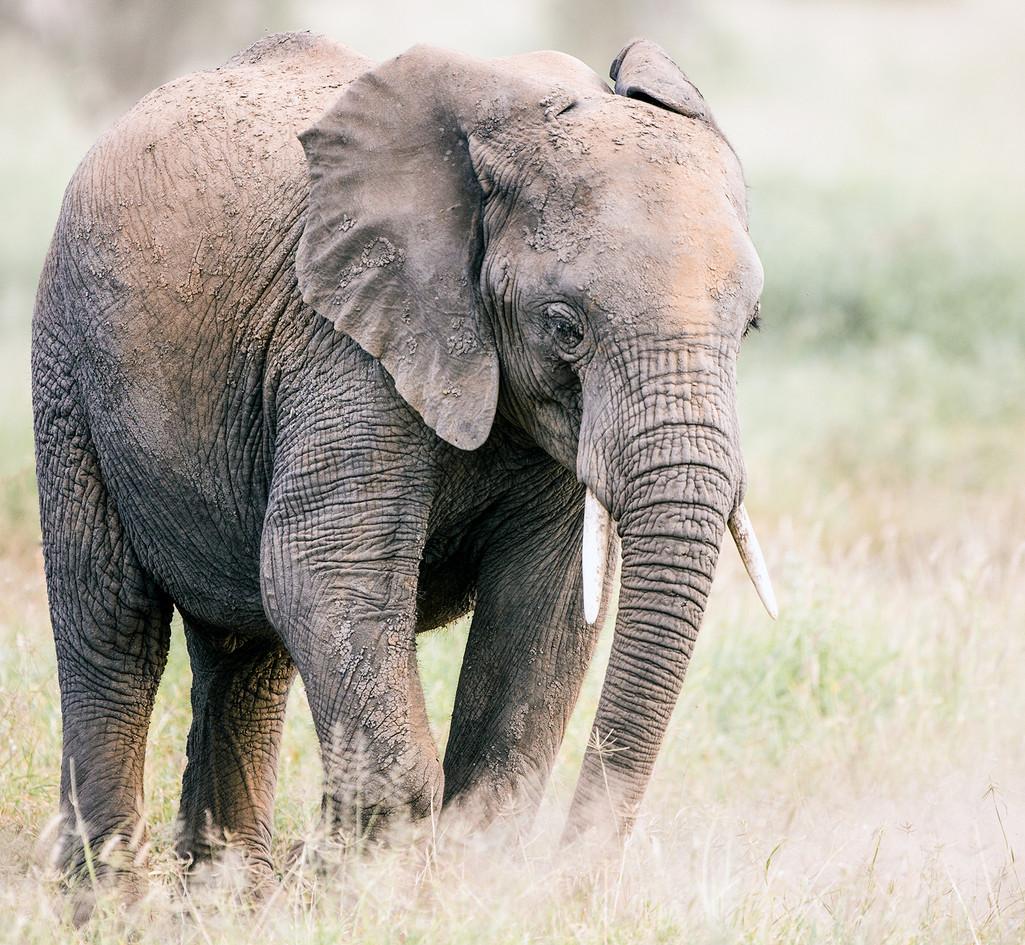 Elephants 27