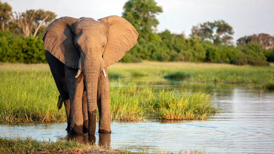 Elephant 40