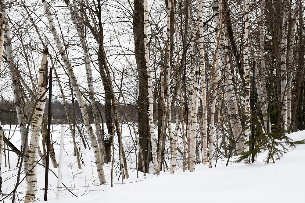 birch forest in the winter