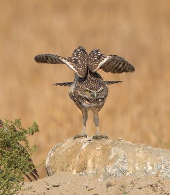 Rona Liu - Burrowing Owls2