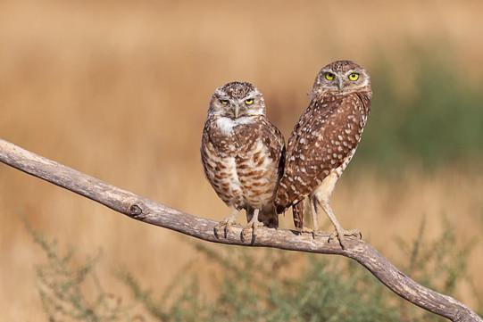 Eddy Huang - Burrowing Owls